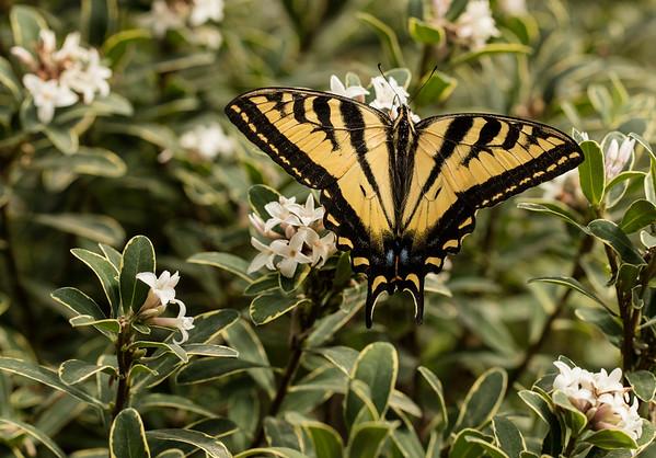 Daphne odoro 'Aureomarginata' with Swallowtail butterfly